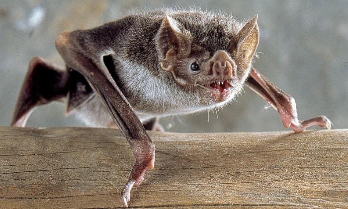 Vampire bat in Peru
