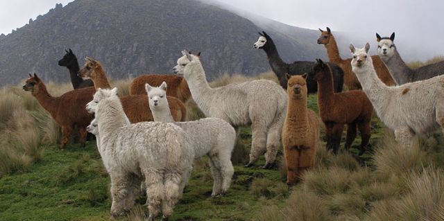 Inca food alpaca