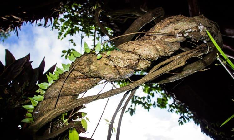 Ayahuasca vine, Banisteriopsis caapi