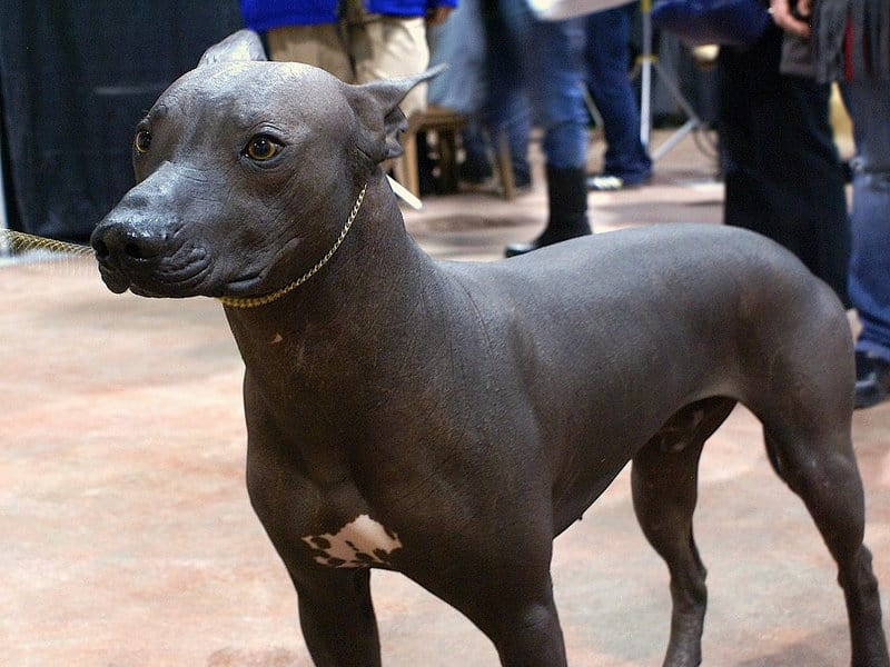 Hairless Peruvian Dog Inca Orchid Perfect Pedigree