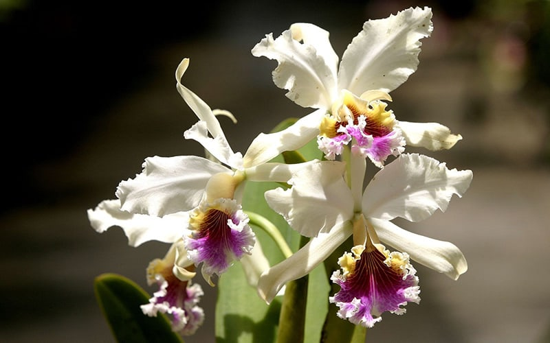 moyobamba-orchid-white-purple-flower