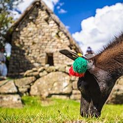 Places to See Llamas Peru